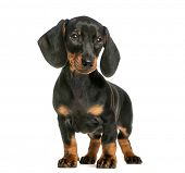Dachshund, 2 months old, in front of white background poster