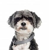 Mixed-breed dog, 6 years old, in front of white background poster