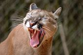 foto of mountain lion  - a mountain lion yawns - JPG