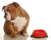 English Bulldog With Empty Bowl