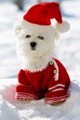 Christmas puppy, winter - portrait of Maltese puppy in Santa hat sitting in snow