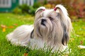Shih tzu dog lying on grass.
