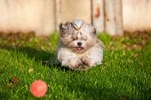 Shih tzu dog running for ball.