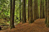 Californian Redwood Forest