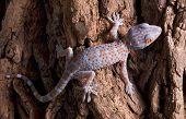 stock photo of tokay gecko  - A baby tokay gecko is walking across a tree trunk - JPG