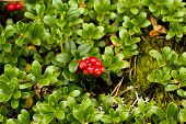 Wild Lingonberry / Cowberry Plants