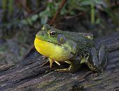 Bullfrog Ribbit