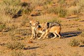 picture of jackal  - Pair of jackal fight over food in the Kalahari