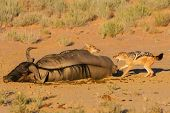 picture of jackal  - Pair of jackal fight over food in the Kalahari - JPG