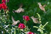 image of feeding  - closeup of humming birds flying and feeding on red snap dragons with a green out of focus background - JPG