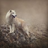 image of wolf-dog  - White wolf at the night - JPG
