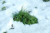 stock photo of freezing temperatures  - The snow is slowly melting beneath him grow new grass - JPG