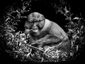 Allens Swamp Monkey