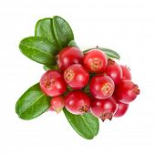 Cowberry heap close up isolated on white background