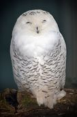 image of snowy owl  - Snowy Owl with a funny face standing on a branch