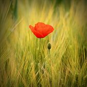 Red poppy (Papaver rhoeas) with out of focus wheat field in background. The petals from off ancient