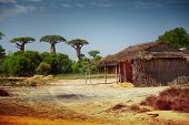 Yard and traditional Malagasy house on a dry land with baobabs on the background. Madagascar