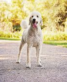 picture of standard poodle  - a poodle in a park - JPG