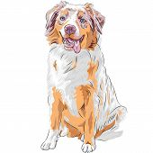 Vector Dog Red Australian Shepherd Breed
