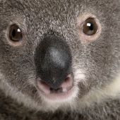 Close-up Portrait Of Male Koala Bear, Phascolarctos Cinereus, 3 Years Old