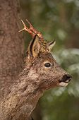 stock photo of roebuck  - a male roebuck just after having rubbed his antlers - JPG