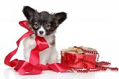 pic of epagneul  - Papillon puppy associated red ribbon - JPG
