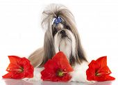 picture of dog breed shih-tzu  - Shih Tzu - JPG