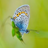 beautiful butterfly in natural habitat (plebejus argus)