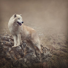 picture of white wolf  - White wolf at the night - JPG