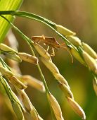 Insect perched on rice. The rice are nearing harvest.