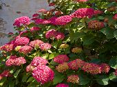 Pink Hortensia Hydrangea Flowers Growing In The Garden