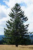 A single spruce