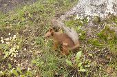 Red squirrel sitting on green grass