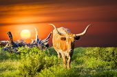 foto of texas-longhorn  - Female Longhorn cow in a Texas pasture at sunrise - JPG