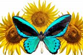 Sunflowers And Blue Butterfly