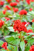pic of cockscomb  - Beautiful Red Cockscomb Flower In The Garden