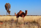 picture of dromedaries  - Two dromedaries in Australia, looks like the one in the front has two heads