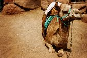 Camel Sitting On A Desert Land