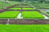 Rice Seedlings In Thai