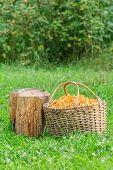 Basket with chanterelles and log