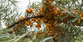 stock photo of sea-buckthorn  - Late fall - JPG