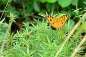 stock photo of butterfly-bush  - Peacock pansy butterfly  - JPG