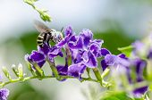 White-banded Digger Bee (amegilla Quadrifasciata)