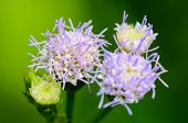 foto of billy goat  - Small blue flowers of Billy Goat Weed ( Ageratum conyzoides ) in Thailand