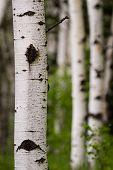 Birch Or Quaking Aspen