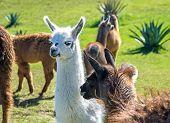 A baby white llama