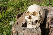 picture of morbid  - Still life skull in the backyard and log in the park - JPG