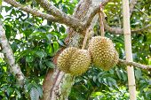 Fresh Durians On Tree In Farm