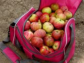 bag full of fresh harvested apples