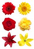 Yellow and red flowers isolated on blue background